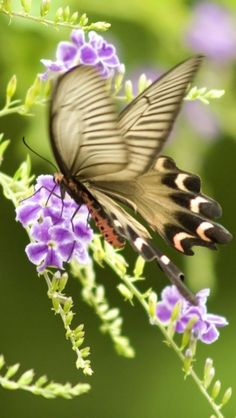 Swallowtail Butterfly on Duranta erecta~ You can plant Duranta directly  in the ground in Central Texas. Mine is planted in a sheltered area.