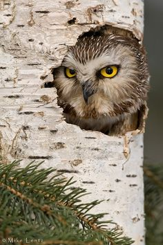 Northern Saw Whet Owl by Mike Lentz via 500px. Saw Whet Owl in nest cavity (Aegolius acadicus)