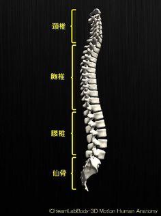 人の骨の名称を解剖のイラスト図脊椎