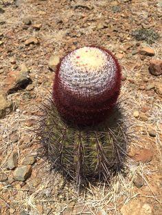 Cactus de Aruba!