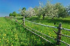 apple tree's