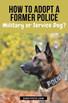Army Dogs, Military Dogs, Police Dogs, Service Dog Training, Service Dogs, Malinois Shepherd, Shepherd Dog, Most Popular Dog Breeds, Belgian Malinois