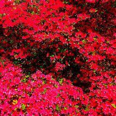 Azaleas truly astound! #color #red #pink #shrub #bush #garden #spring #azalea #countryside #scenery #landscape #home #mcintoshnesbit #countryestate #plants #gardening #nature #blooms #flowers #luxury #style #art #lifestyle #instadaily #instagram #instalike #fineart #photo