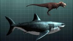 My cousin the megalodon compared to a T-rex. The megalodon was so big that it feasted of whales. Scientist guess that megalodons were around 60 feet long Reptiles, Mammals, Shark Week, Shark Facts, Species Of Sharks, Big Shark, Megalodon Shark, Tyrannosaurus, Whales