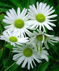 African Blue Eyed Daisy Seeds rare Osteospermum seeds bonsai Potted flower seeds garden plant easy to grow Amazing Flowers, White Flowers, Beautiful Flowers, Simply Beautiful, Daisy Flowers, Gerber Daisies, Porch Plants, Garden Plants, Flower Seeds