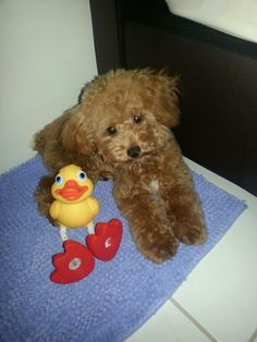 Toy poodle with playmate duckie