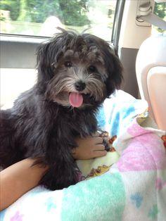 Black Havanese puppy