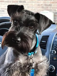 Say hello to ❤️Jasper Miniature Dog Breeds, Miniature Schnauzer, Mini Schnauzer Puppies, Schnauzers, Teach Dog Tricks, Man And Dog, Dog Hacks, Say Hello, Fur Babies