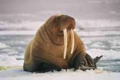 Walrus:  Walruses have long tusks and a prominent mustache. These large marine mammals are found near the Arctic Circle. They are extremely social and snort and bellow loudly at their companions. During the mating season they are quite aggressive.
