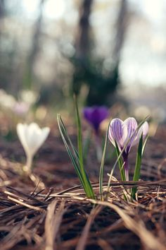 crocus bloom spring  Amanda Wright with wit & whistle