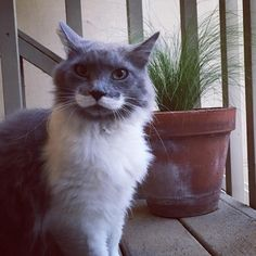 This cat with a mustache just followed us home :) by Trunkhouse cats kitten catsonweb cute adorable funny sleepy animals nature kitty cutie ca