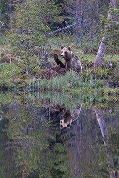 Valokuvaharrastaja otti liikuttavia karhukuvia Suomussalmella –>  Lammen toiselta puolelta kuvatussa otoksessa karhu näyttää vilkuttavan kuvaajalle. Todellisuudessa se rapsuttaa itseään etukäpälällä, jolloin takakäpälä nousee ylös.aKotimaa - Ilta-Sanomat