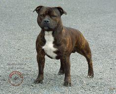 American Staffordshire Terrier vs Pitbull | pit bull terrier