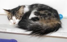 Petango.com – Meet Karmel, a 2 years Domestic Medium Hair / Mix available for adoption in HOLLISTER, MO