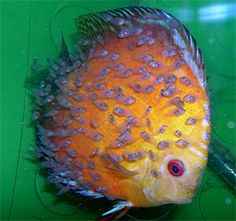 discus fish carrying fry. they feed their fry with a slime coat they produce.