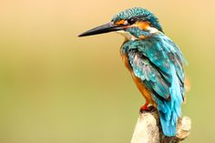 BorisWorkshop posted a photo:  The Common Kingfisher, Alcedo atthis, also known as Eurasian Kingfisher or River Kingfisher, is a small kingfisher with seven subspecies recognized within its wide distribution across Eurasia and North Africa. It is resident in much of its range, but migrates from areas where rivers freeze in winter.  This sparrow-sized bird has the typical short-tailed, large-headed kingfisher profile; it has blue upperparts, orange underparts and a long bill. It feeds mainly…