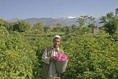 Rosas de Afganistán. En octubre de 2004, por iniciativa de Agro Acción Alemana, un proyecto para la producción de aceite de rosa se inició en el que 400 agricultores están cultivando rosas de damasco en 60 hectáreas de tierra. Con la producción de aceite de rosa de una antigua tradición afgana fue traído de vuelta a la vida ya las primeras cosechas fueron convincentes en cuanto a cantidad y calidad.