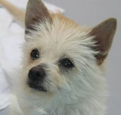 *MAMBA - ID#A765644  Shelter staff named me MAMBA.  I am a male, buff Cairn Terrier and Chihuahua - Smooth Coated.  The shelter staff think ...