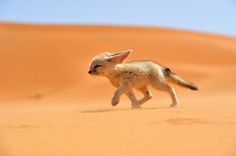 """""""Fénec – The soul of the desert"""". The fennec, or desert fox is a canine mammal species of the genus Vulpes, which inhabits the Sahara Desert and Arabia. With its features ears, this is the smallest species of the family Canidae. It is endangered and its main threat is illegal in other countries. Location: Morocco. (Photo and caption by Francisco Mingorance/National Geographic Traveler Photo Contest)"""