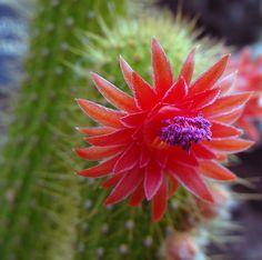 cactus flower | Cactus Flower