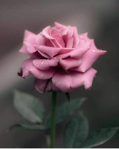 Flowers beauty — Source :art of nature Beautiful Flowers Wallpapers, Beautiful Rose Flowers, Flowers Nature, Exotic Flowers, Amazing Flowers, Pretty Flowers, Sugar Flowers, Pink Flowers, Planting Roses