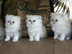 Very Funny Persian Cat! Cute Little Kittens, Cute Cats And Dogs, Cute Cats And Kittens, Baby Cats, Cool Cats, Kittens Cutest, Kittens Playing, Pretty Cats, Beautiful Cats