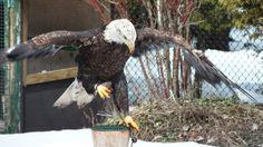 Mountsberg Raptor Centre a World of Hawks, Owls, Eagles, Vultures and Falcons