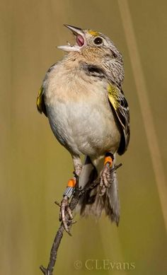 The Florida Grasshopper Sparrow is a federally endangered bird found nowhere else in the world.