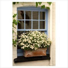 White daisies in copper window box. Very pretty. (Marguerite Daisy). Love the contrast between the flower and the window box.