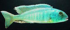 haplochromis lepturus.jpg | Flickr - Photo Sharing!