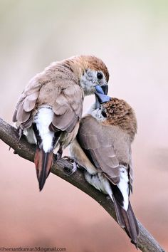 Indian silverbill share moments