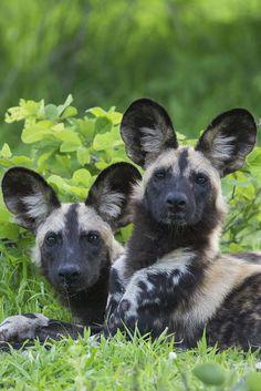African wild dogs (by Natürlich Reisen Tourdesign GmbH & Co. KG)