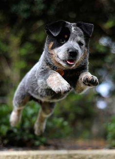Blue Heeler - Australian Cattle Dog - Renowned for their Intelligence, Loyalty, Courage, Alertness & Protective Instinct Aussie Cattle Dog, Austrailian Cattle Dog, Cute Puppies, Cute Dogs, Dog Rules, Pics Art, Cute Baby Animals, Animals Dog, Beautiful Dogs