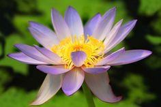 Heirloom 12 Nymphaea Seeds Water Lily Waterlily Red Yellow White Blue Pink Garden Flower Bulk S800, $1.99