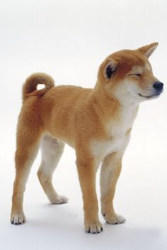 shiba/ MY NEXT DOG