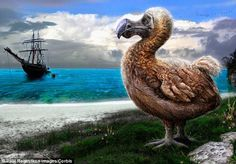 The dodo (illustrated) was later depicted as a stumpy and slow moving bird, which was thought to have made them easy prey for sailors. Subfossils have suggested it was around one meter tall and weighed up to 46lbs
