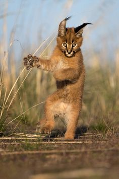 """A Caracal: """"Kung-Fu Kalle!"""" (Title Given By The Photographer: Marion Vollborn on Small Wild Cats, Big Cats, Cute Cats, Caracal Kittens, Cats And Kittens, Animals And Pets, Baby Animals, Cute Animals, Wild Animals"""