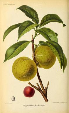 fruits-03958 - Nectarine [2972x4824]