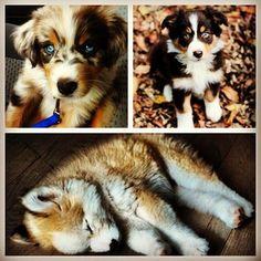 Golden Retriever/Siberian Husky - Australian Shepherd <3 This is why Leia needs a husky boyfriend.