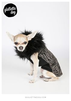 Black magic chihuahua<3! #totalblack #stripes #magic #giuliettalovers #fashionchihuahua #style