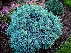 Blue Star Juniper Shrub Juniperus squamata 'Blue Star' x Juniper Shrub, Juniper Plant, Juniper Tree, Evergreen Shrubs, Trees And Shrubs, Juniperus Squamata, Blue Star Juniper, Flora, Gardens