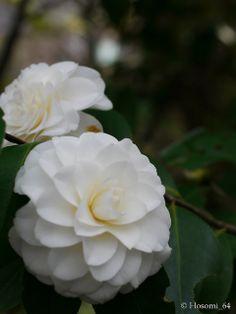 Camellia japonica 'Shiragiku' (Japan, 1681)
