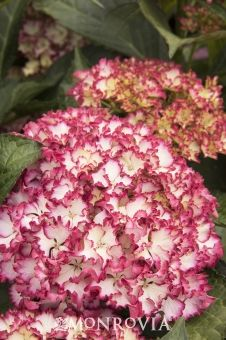 Monrovia's Seaside Serenade® Fire Island Hydrangea details and information. Learn more about Monrovia plants and best practices for best possible plant performance.