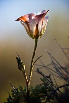 The Sego Lily is a beautiful native plant that is protected in Utah (where it is the state flower).