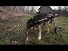 Dog Who Can't Walk On Her Own Loves To Play Fetch - http://www.dawgydog.com/dog-who-cant-walk-on-her-own-loves-to-play-fetch/