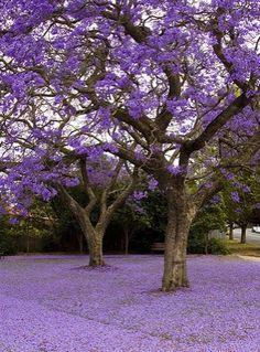 Jacarandas in Pretoria South Africa