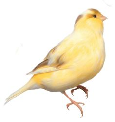 Yellow Bird PNG Clipart Picture