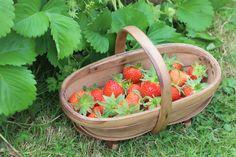 It's Strawberry Season with @gdnsmallholder! Yummy :)