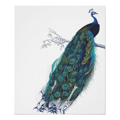 Blue Peacock with beautiful tail feathers #art