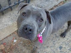 SAFE --- Manhattan Center   SAMORA - A1019629 *** AVERAGE HOME ***  FEMALE, GRAY / WHITE, PIT BULL MIX, 3 yrs STRAY - STRAY WAIT, NO HOLD Reason STRAY  Intake condition UNSPECIFIE Intake Date 11/03/2014, From NY 10463, DueOut Date 11/06/2014,  https://www.facebook.com/photo.php?fbid=899792870033593